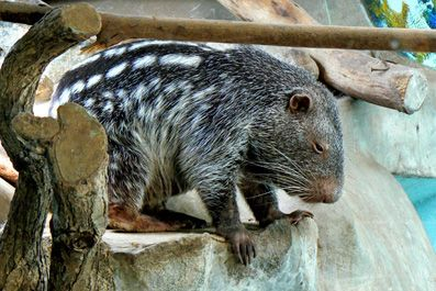 endangered animals South American rainforest, Pacarana, large slow moving rodent, nocturnal, weighing up to 30lbs.