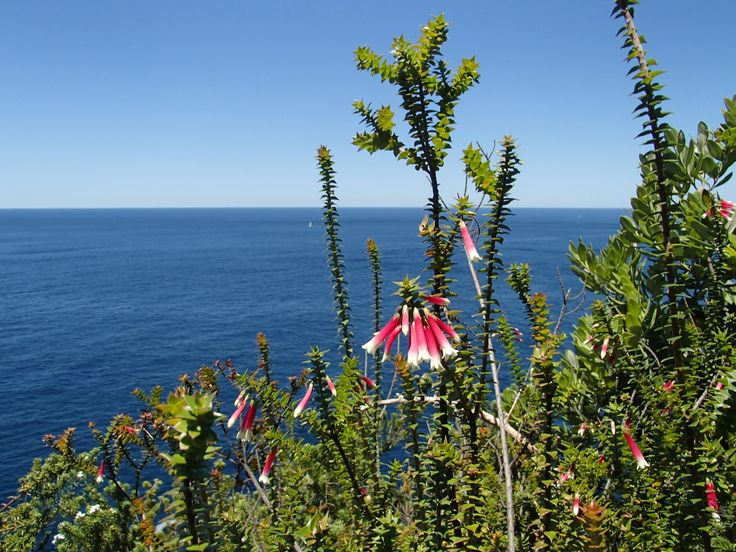 Epacris longiflora somewhere against a Sydney cliff