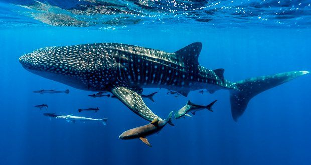 Experience a close encounter with a shark feeding frenzy in Australia. Ningaloo Reef: Diving with giants | National Geographic Traveller (UK)