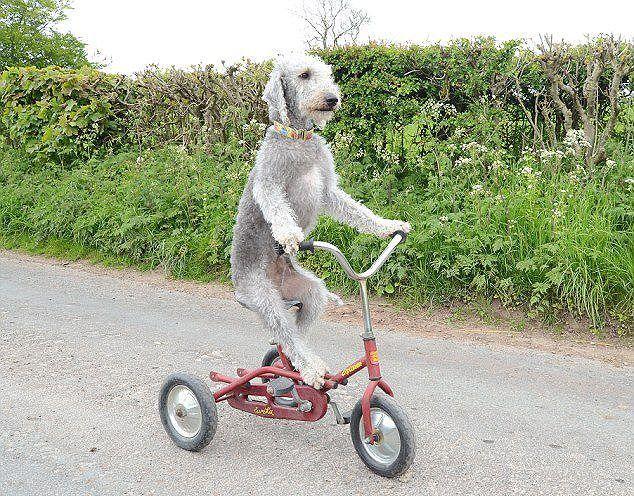 英国 三輪車に乗るベドリントン・テリア