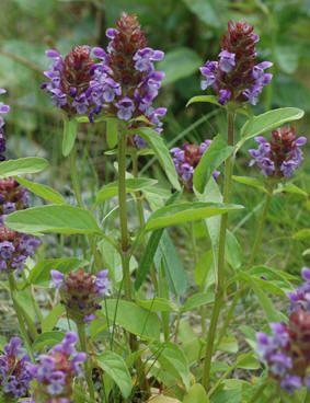 BLÅKOLL - Prunella vulgaris