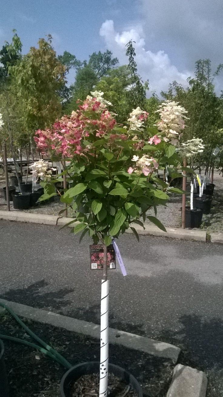 Quick fire hydrangea tree.