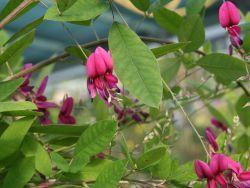 Buschklee  Sommerblüher Sep-Nov, überhängend, stärker Schnitt, Sonnenplatz gewünscht