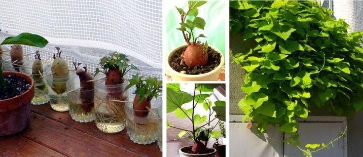 Így nevelj csodaszép növényt az édesburgonyából!