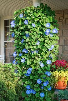 Plant Morning Glory seeds in a hanging basket and they will grow down! Love this idea so much!!