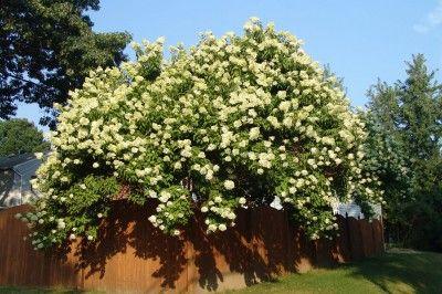 Hydranga Paniculata  Woody Plants