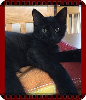 Mt. Prospect, IL - Domestic Shorthair. Meet Yosemite Sam, a kitten for adoption. http://www.adoptapet.com/pet/16437592-mt-prospect-illinois-kitten