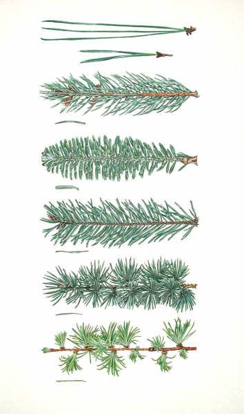 Needle-leaved conifers: 2- and 3-needle pines, spruce, fir, Douglas fir, cedar, larch.