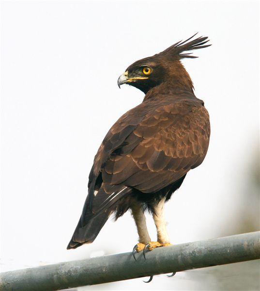 Long-Crested Eagle South Africa (Lophaetus occipitalis)