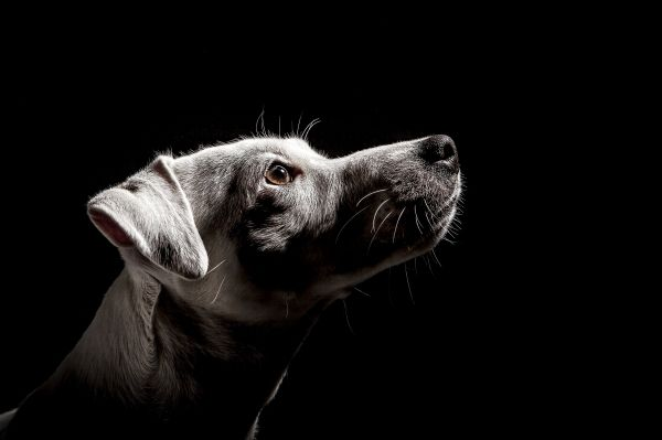 """Dog head shot"" by Matteo Mescalchin on Displate #dog #portrait #head #animal #light #displate #photography"