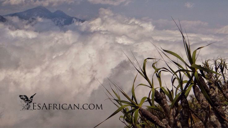 I love the Afromontane plants above the clouds on Mulanje Mountain in Malawi.