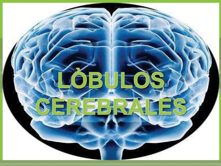 una explicación sobre los lóbulos cerebrales y sus funciones .  Ubicación .