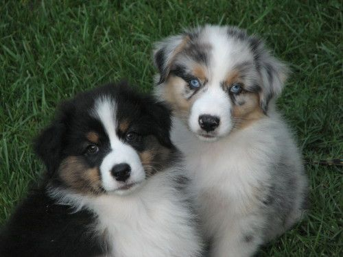 Australian Shepherd pups, the one on the left is my dream dog!!!