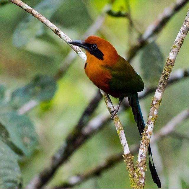 Otra especie que podrás encontrar en la reserva de Río Claro es el Barranquero Canela. . #nature #wildlife #naturephotography #yellowparrot #bird #orange #rioclaro #colombiawildlife #colombiawild #naturephographer