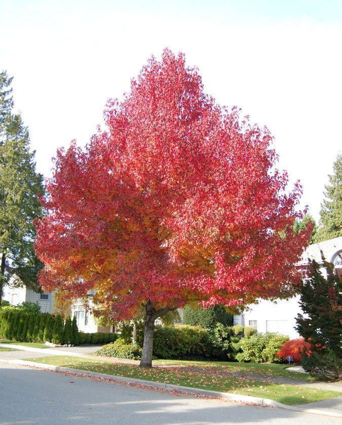 Liquid Amber Tree | ... Sweetgum, Red Gum, Liquid Amber 'Worplesdon' (Liquidambar styraciflua