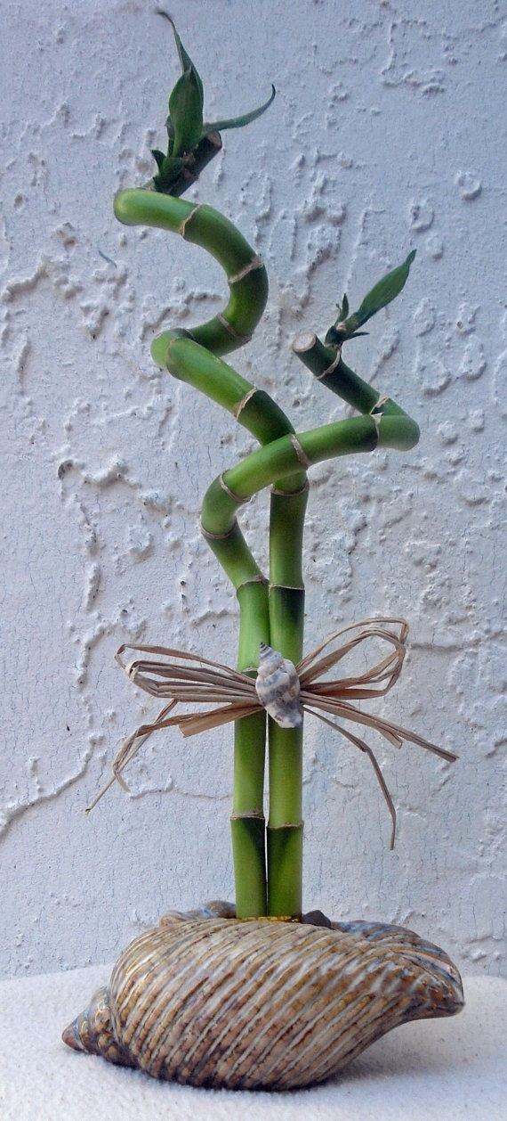 Lucky Bamboo Arrangement -in Ceramic Shell Tied with Rafria and Real Sea Shell.