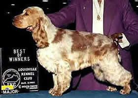 Red Roan patterned English Cocker Spaniel.