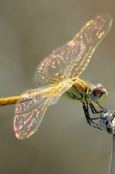 Dragonfly with sparkling wings