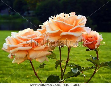 Beautiful rose in the garden at sunset