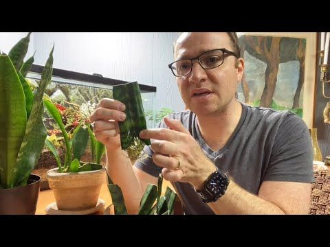 Are Your Sansevieria Cuttings Rotting Learn The Secret To Success Youtube In 2020 Secret To Success Sansevieria Plant Care