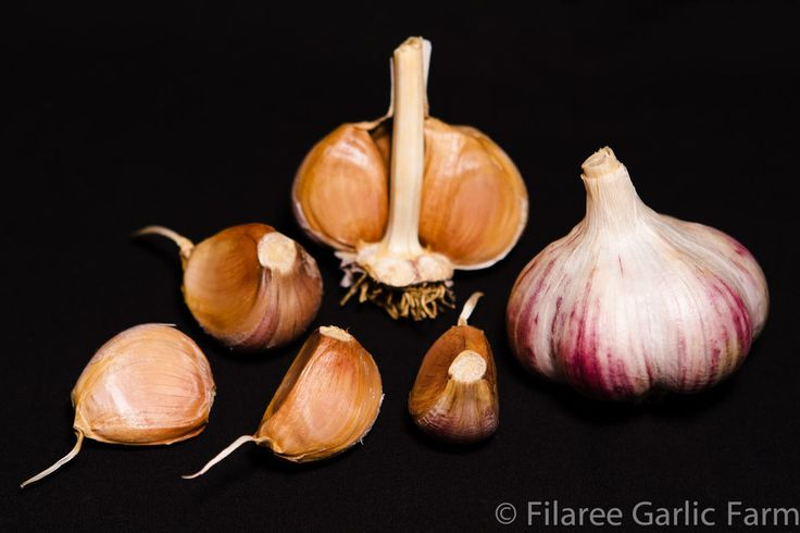 "RUSSIAN RED - This is the standard commercial garlic grown throughout British Columbia. There are two strains referred to as ""Russian Red"", one is a true Rocambole and the other a Marbled Purple stripe. This strain is often mistakenly called a Rocambole by growers. It does have a flavor similar to Rocamboles in its complexity. Beautiful purple bulb wrappers. Clove wrappers are brown and purple. This strain produces large bulbs that are easy to peel and store very well ."