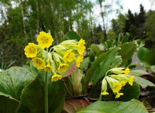 """""""Primula"""", czyli o pierwiosnku nazywanym kluczykiem..."""