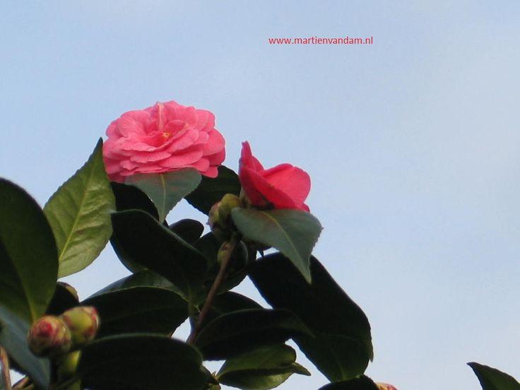 Camellia japonica is een wintergroene struik met dik glanzend groen blad. De meeste soorten bloeien van maart tot april. Het is van familie van de theeplant en daarom iets vorstgevoelig, word vooral vanwege de bloem (van wit, rood, roze tot zeer donker lila)gewaardeerd.  De plant heeft een humeuze (licht zure) grond nodig.