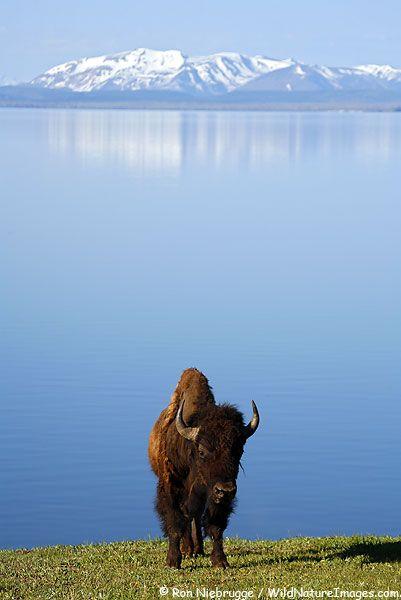 Buffalo on the shores of Yellowstone Lake, Yellowstone National Park, Wyoming