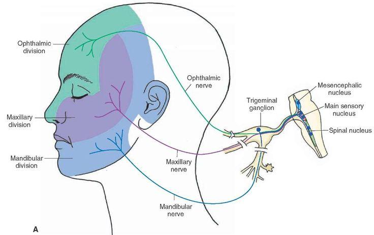 (A) Distribution of the sensory (general somatic afferent) and motor (special visceral efferent) components of the trigeminal nerve, including the sensory arrangement of the sensory divisions of the trigeminal nerve.