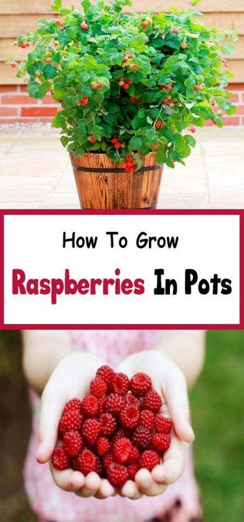 10-fruits-to-grow-in-pots-Rasberries   Culture de framboises, Comment planter des framboises ...