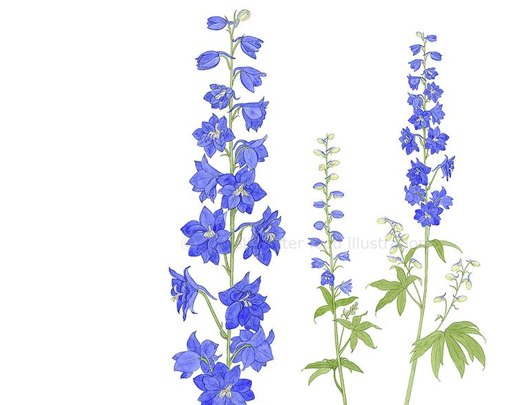 Larkspur, Lee's birth month flower