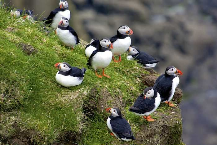 Puffins congregating on clifftops, Mykines
