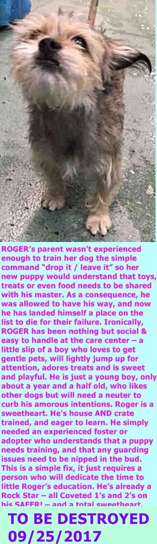 ROGER.  A1125446. I am a male gray and brown yorkshire terr and shih tzu mix  I am about 1 YEAR 8 MONTHS old.  OWNER SUR on 09/13/2017 DOHREQUEST.  http://nycdogs.urgentpodr.org/roger-a1125446/