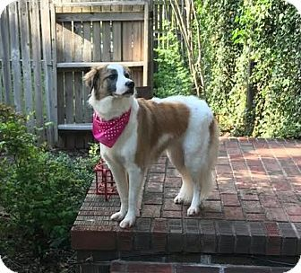 Winter Park, CO - Australian Shepherd Mix. Meet Diamond, a dog for adoption. http://www.adoptapet.com/pet/18021685-winter-park-colorado-australian-shepherd-mix