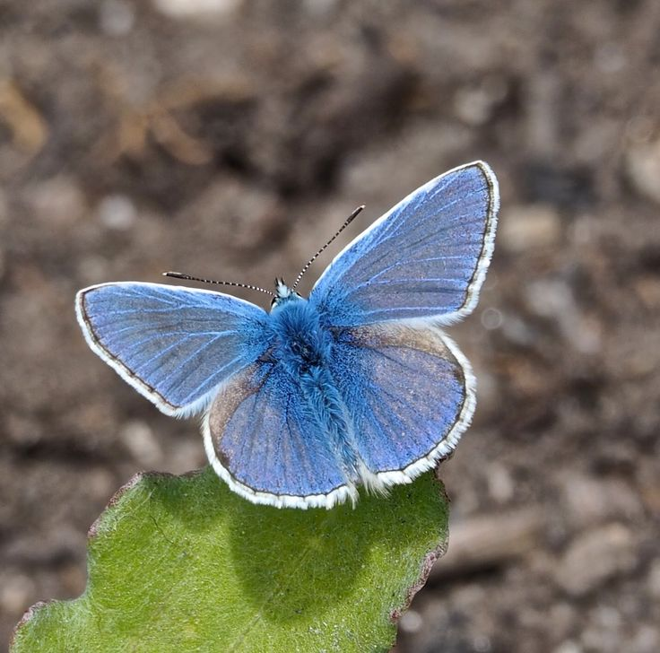 Common Blue Butterfly by Mary Chaloner