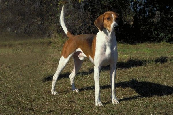 The Treeing Walker Coonhound.
