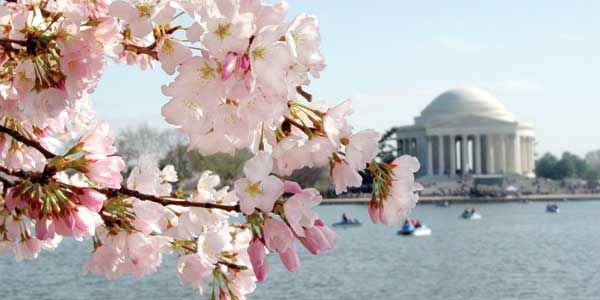 Insider's Guide to the 2014 National Cherry Blossom Festival If you're looking to experience the start of spring in all its glory, the National Cherry Blossom Festival makes a great weekend getaway or day trip to kick off the season.