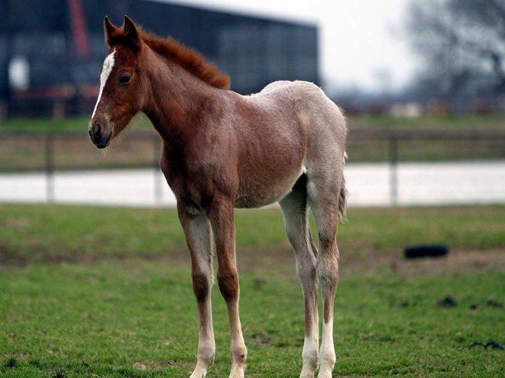 Жеребенок фото обои лошади жеребенок, фото коней лошадей, фотографии обои рабочий стол лошади, фотообои лошади, домашние животны