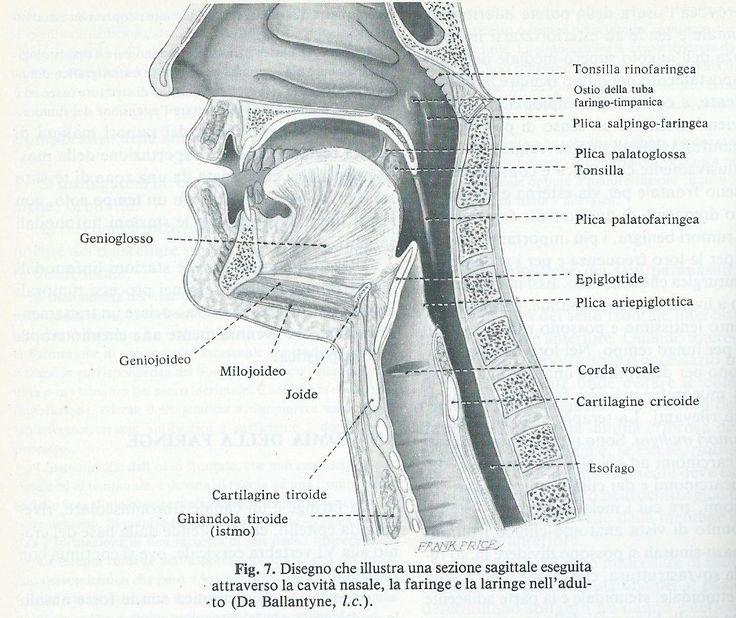 Principali alterazioni dell'Orofaringe sono: 1) malformazioni congenite ( cheiloschisi, labbro leporino, palatoschisi) 2) glossopiatie (glossiti,stoamatiti, di origine tumorale come leucoplachie) 3) tumori 4) faringo-tonsilliti