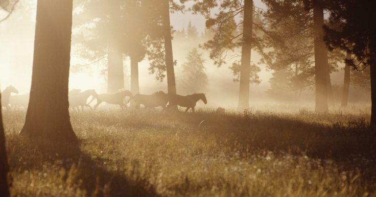 Como alimentar um cavalo belga de tração. O cavalo Belga de tração é uma raça que foi desenvolvida, como o nome sugere, na Bélgica. É a raça mais popular de cavalos de tração nos Estados Unidos. De acordo com a Corporação Americana de Cavalos Belgas de Tração, há mais Belgas registrados nos E.U.A. que todas as outras raças de tração combinadas. Pesando eles até pouco mais de 900 kg quando ...