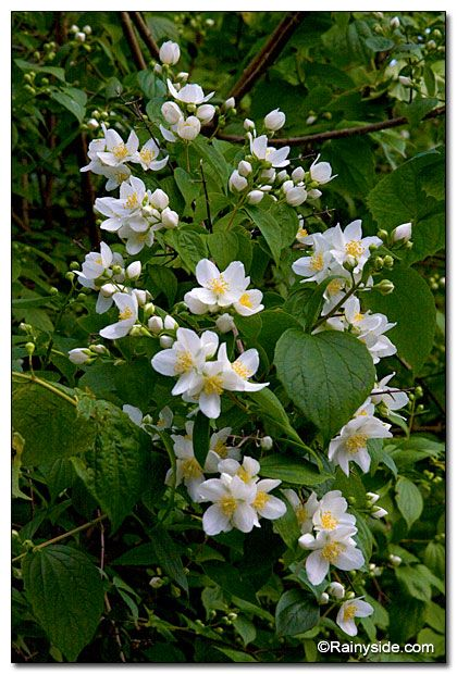 Philadelphus Lewisii Var Gordonianus Mock Orange Syringa