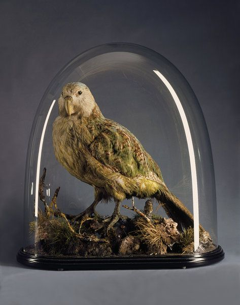 A Very Rare Mounted Specimen of the Extraordinary New Zealand Kakapo ( Strigops Haroptilus ). (1800 to 1900 New Zealand)