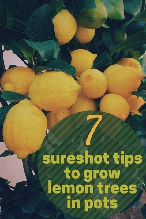 What Gardening Zone Am I In Canada Garden Centre Plymouth Area Interesting Facts About George Wa Lemon Tree From Seed How To Grow Lemon Growing Lemon Trees