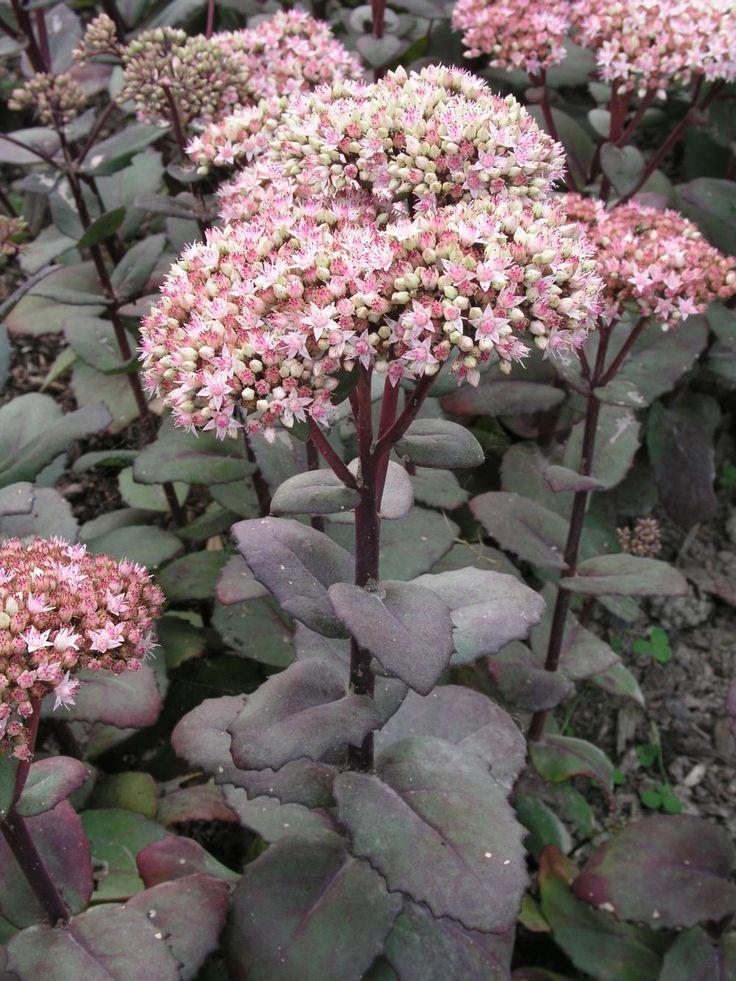 Dank der Fetthennen (Sedum-Hybriden) haben Staudenbeete auch im Herbst und Winter etwas zu bieten. Die großen, rosa- bis rostroten Blütenstände öffnen sich Ende August und sind bei der altbewährten Sorte 'Herbstfreude' auch im welken Zustand attraktiv. Als Spitzensorte gilt auch 'Matrona'. Sie wird mit 60 cm etwas höher als 'Herbstfreude' und hat bronzefarbenes Laub. Fetthennen brauchen trockene, sandige Böden in voller Sonne, sonst knicken die Stiele ab.