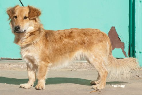 Golden Retriever Corgi Mix- take any big dog and mix it with a corgi, and it automatically makes a mini of the big dog LOL!