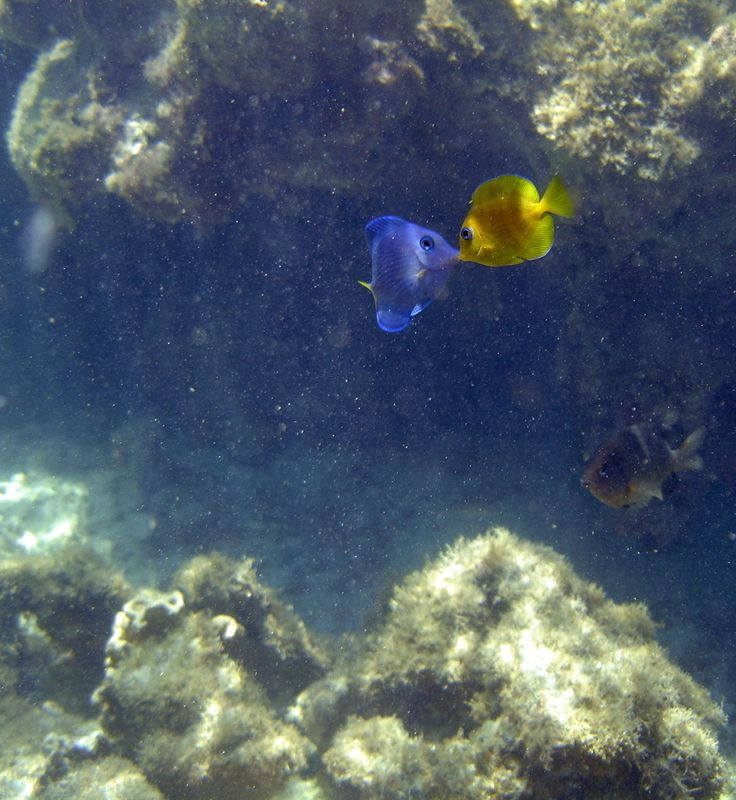 Peixinhos apaixonados nas Galés de Maragogi #Mergulho #Scuba #ScubaDiving #Alagoas #TropicalBeach #SalinasMaragogi