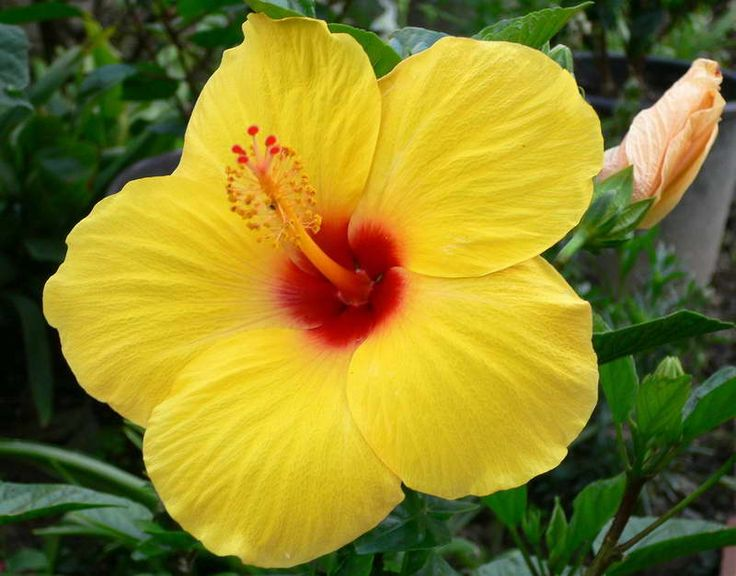 Yellow Hibiscus flower | Flowers and Plants | Pinterest