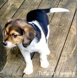25 Best Ideas About Beagle Lab Mixes On Pinterest