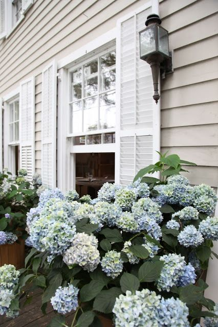 I love beach houses because it's pretty much a guarantee you can grow hydrangeas and keep them alive!