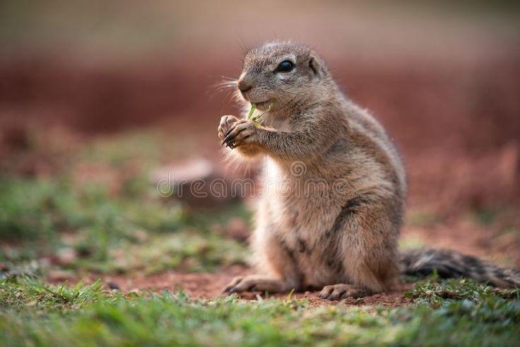 African ground squirrel in 2020 ground squirrel animals